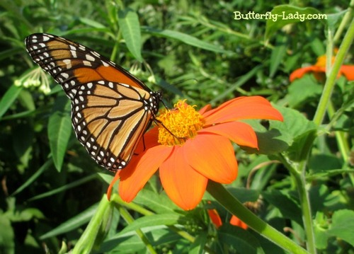 Monarch on Orange Mexican Sunflower