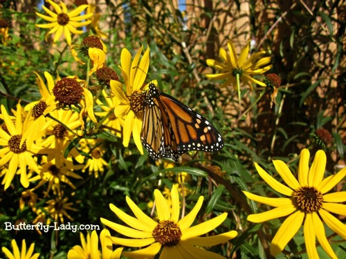Monarch on Swamp Sunflower