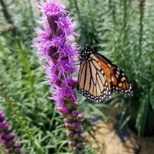 Blazing Star (Liatris spicata) is a an excellent flower for Monarchs.