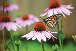 Monarch butterfly on a Purple Coneflower in the garden.
