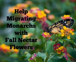 Plant these flowers for Monarchs that migrate in the fall.