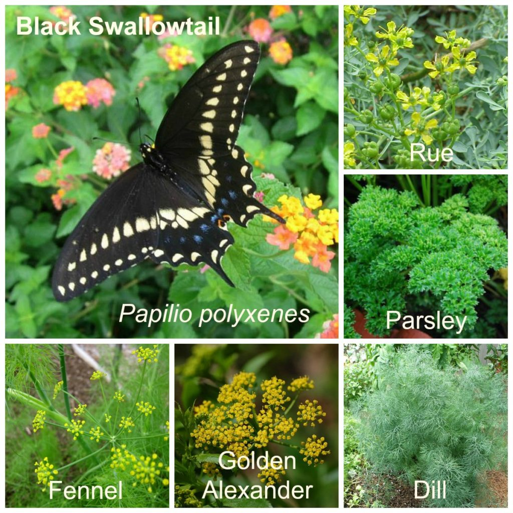 Eastern Black Swallowtail and Host Plants