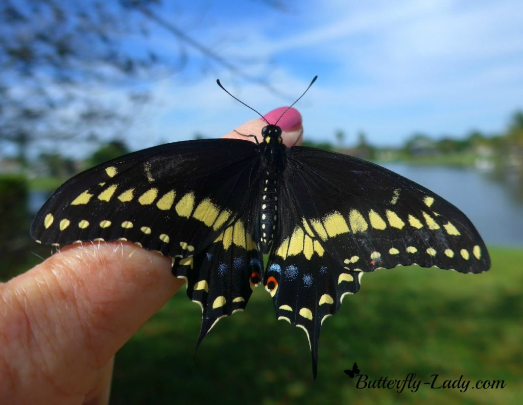 Eastern Black Swallowtail on finger