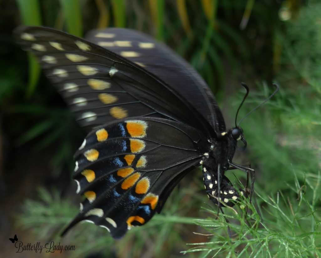 Female Eastern Black Swallowtail ovipositing