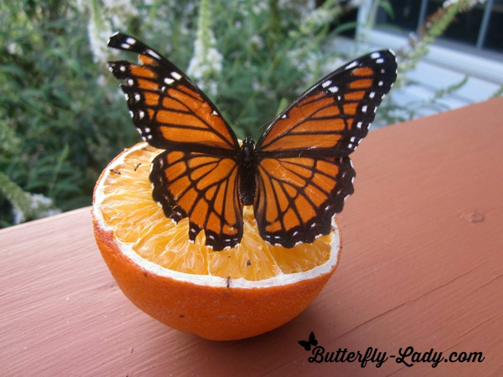 viceroy_orange