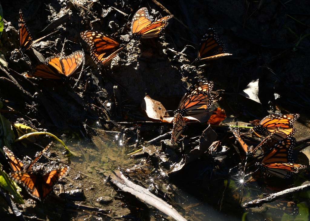 Puddling Monarch Butterflies