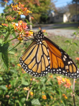 Monarch nectaring on Miss Huff Lantana