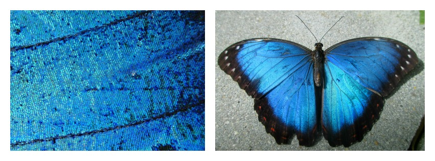 Morpho Wings