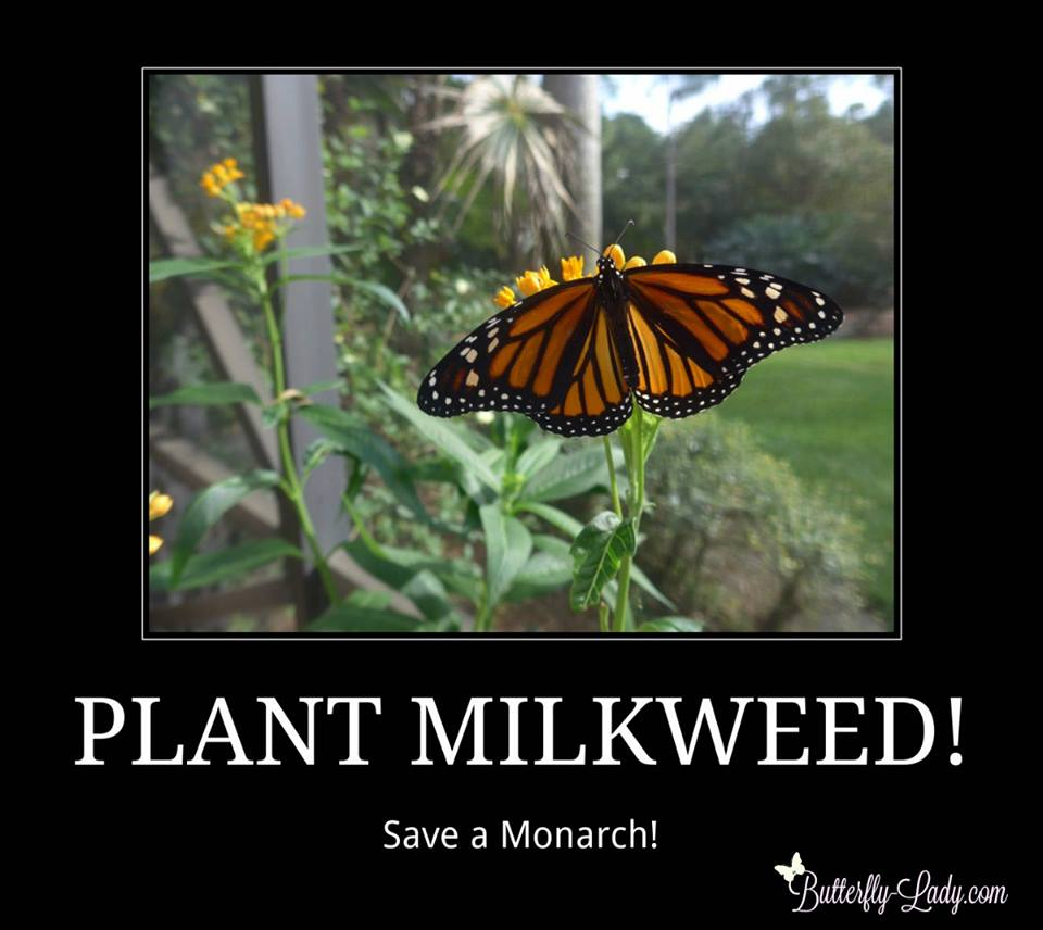 Plant Milkweed