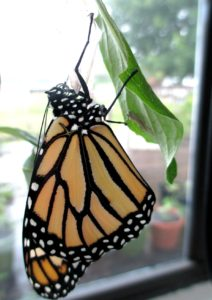 Recently-emerged Monarch Butterfly