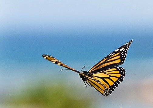Monarch Butterfly on the Wing