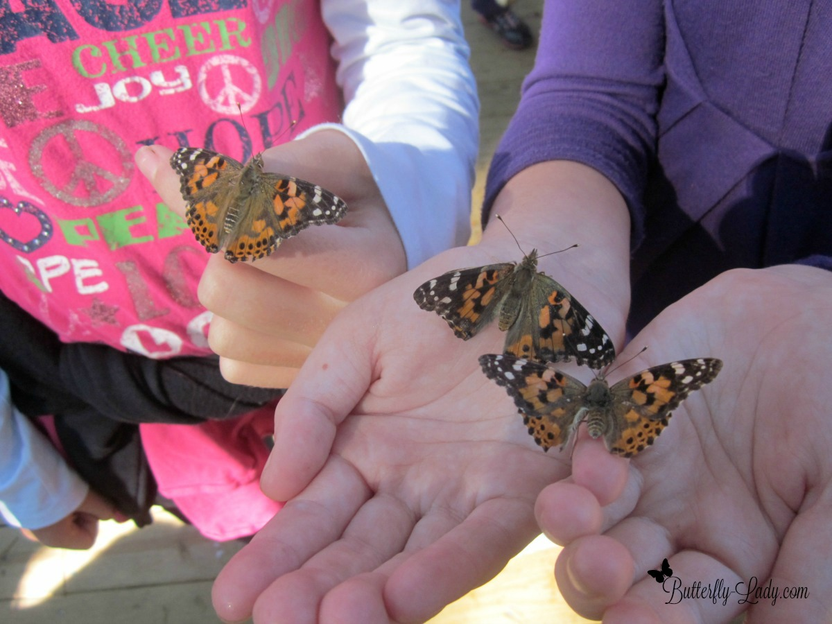 Painted Lady butterflies in children's hands