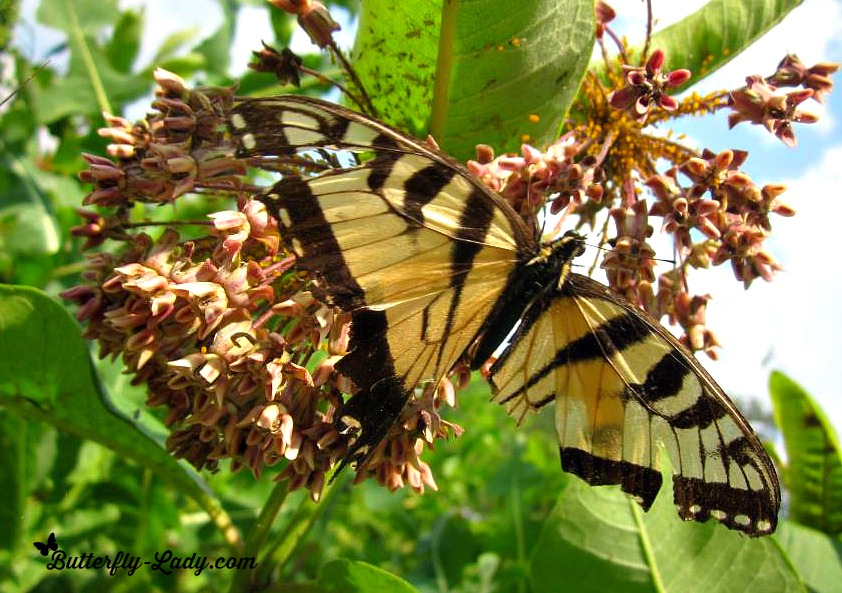 Worn Wings of a Tiger Swallowtail