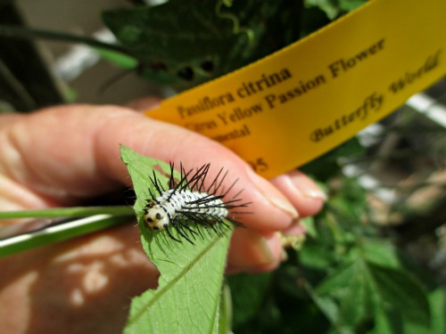 Zebra Longwing Caterpillar on Passion Vine