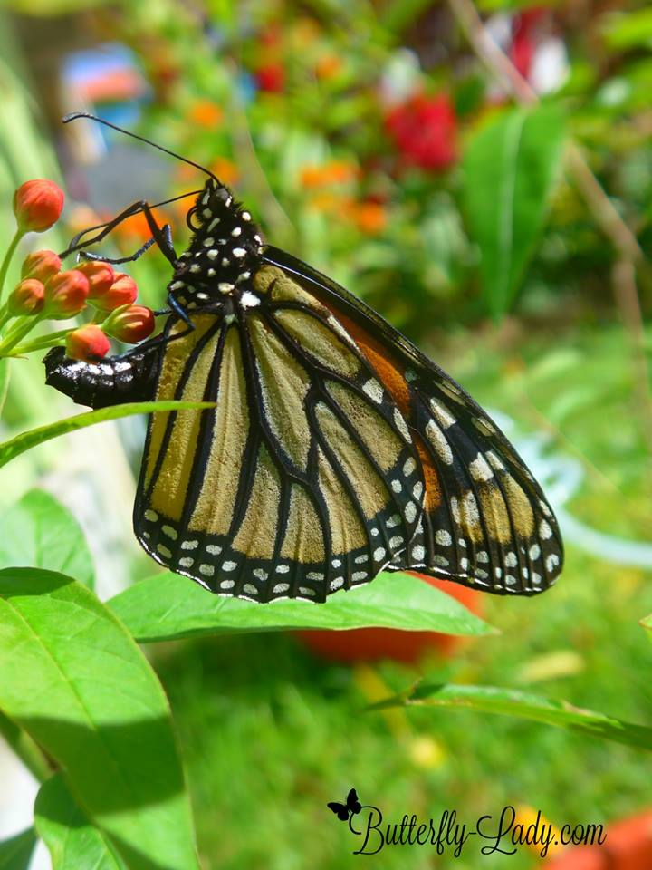 Monarch_laying_eggs