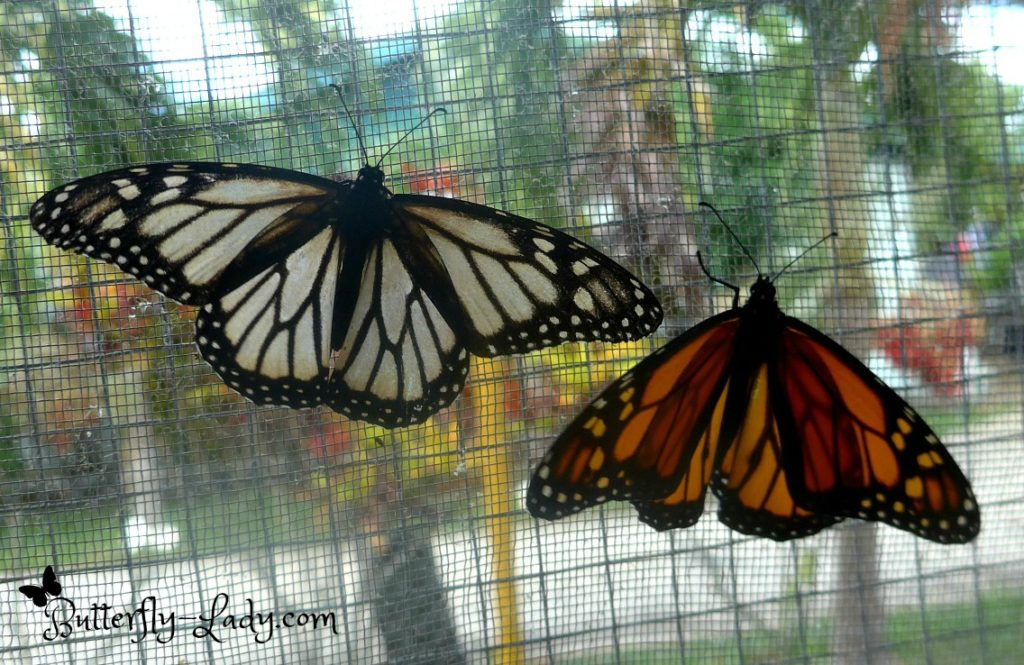 White and Orange Monarch Butterflies