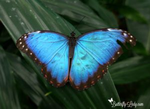 blue morpho butterfly eggs
