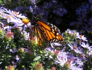Monarch butterfly nectaring on New England Aster (Symphyotrichum novae-angliae).