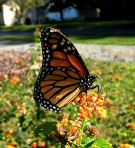 Monarch nectaring on 'Miss Huff' Lantana.
